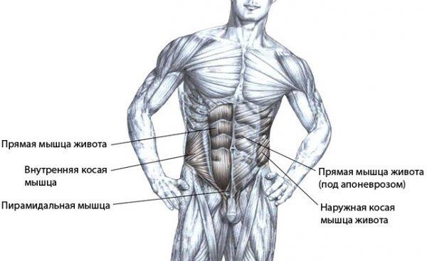Поперечная мышца живота: анатомия и упражнения для тренировки