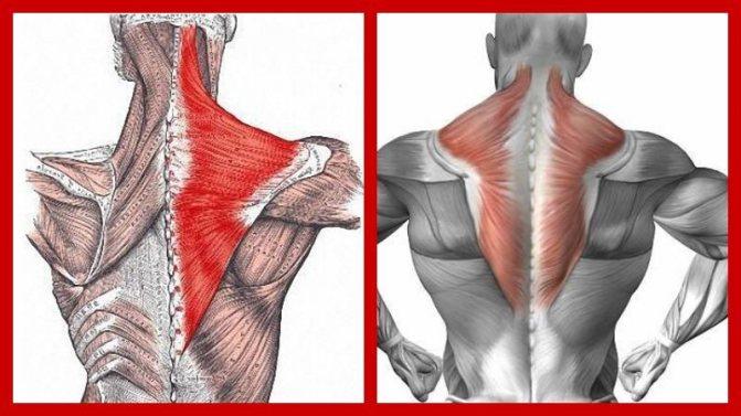 Упражнения на трапецию в тренажерном зале для мужчин. упражнения для трапециевидных мышц спины | здоровое питание