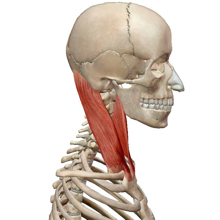 Анатомия мышц шеи, часть 2