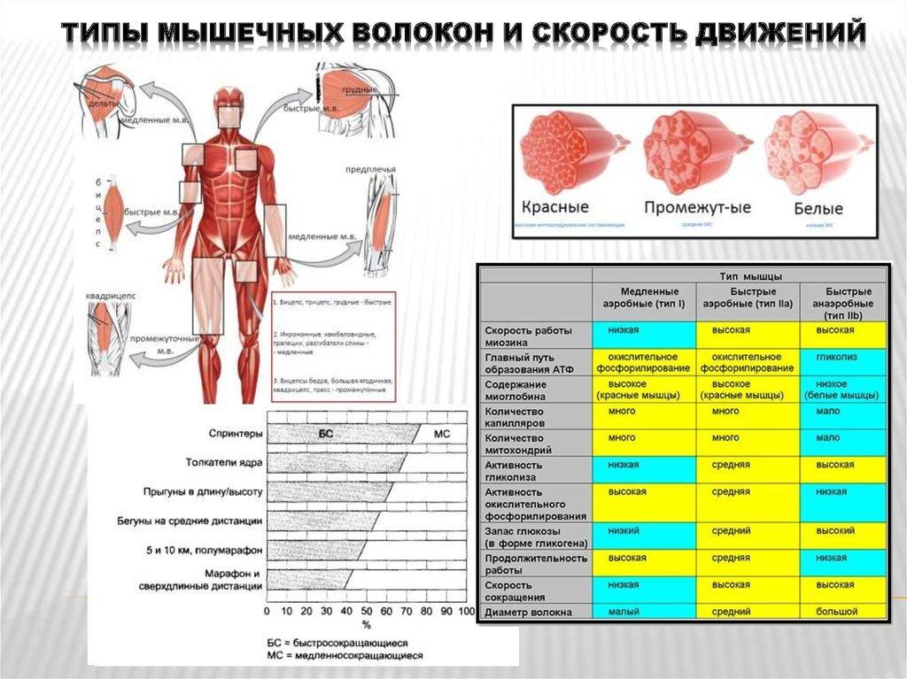 Подполье 12. рост медленных мышечных волокон