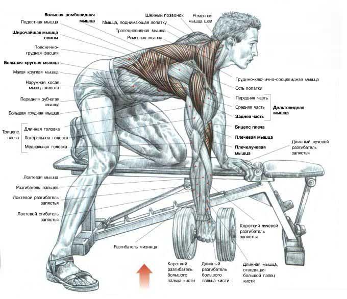 Упражнения на трапецию в тренажерном зале: лучшие программы