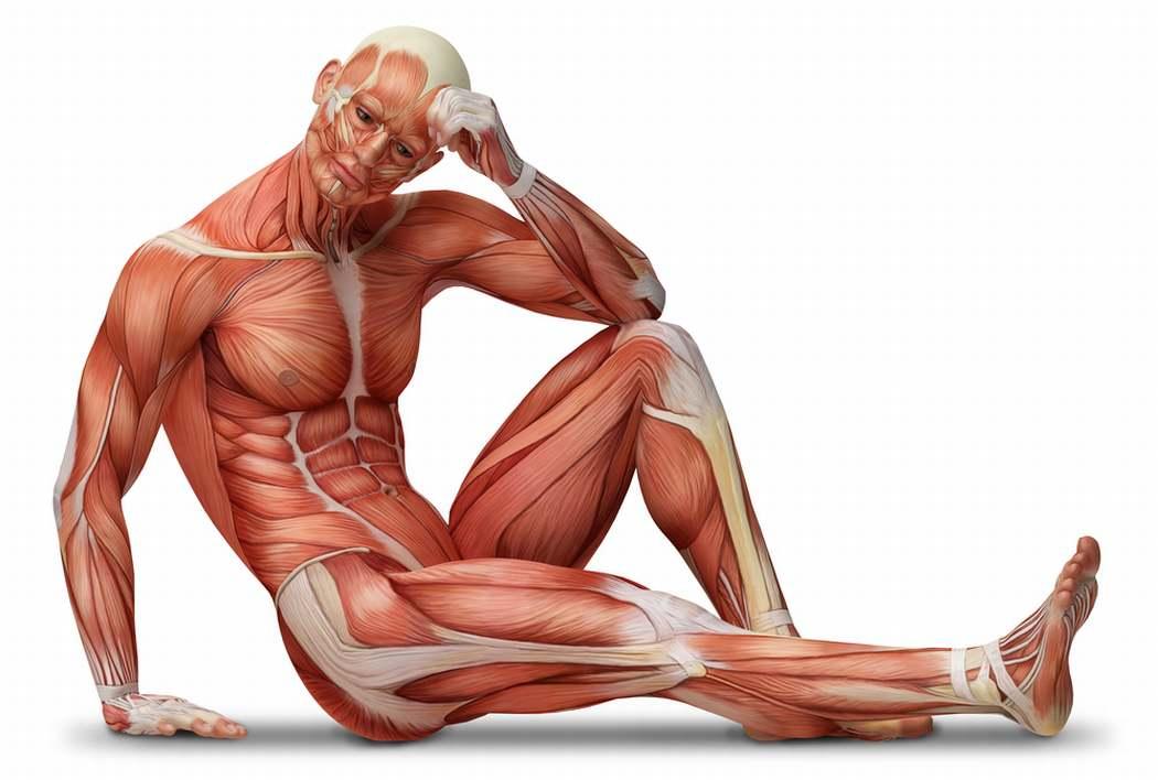 Сколько групп мышц у человека. интересные факты о мышцах, которые поражают своей силой