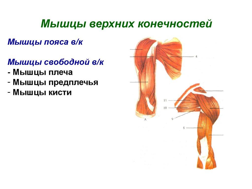 Плечевой сустав: строение, функции, фото