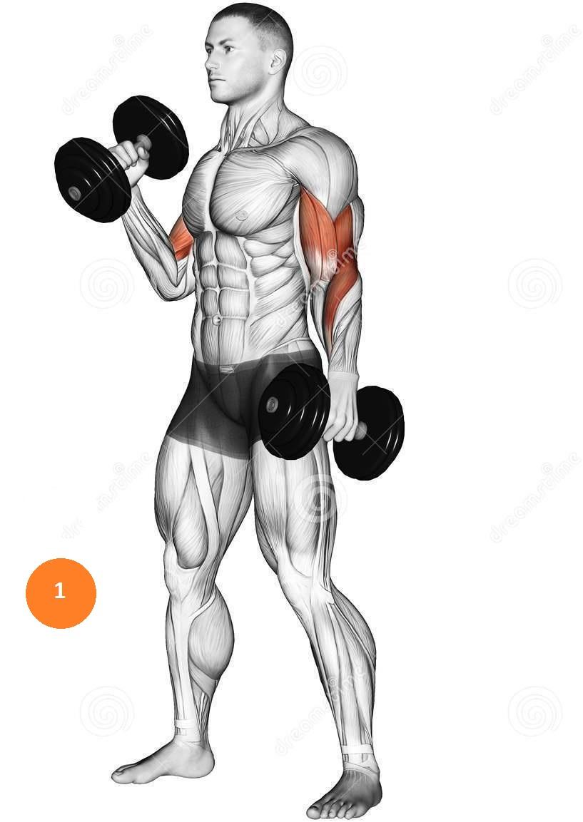 Как правильно качать руки гантелями: упражнения, программа тренировок