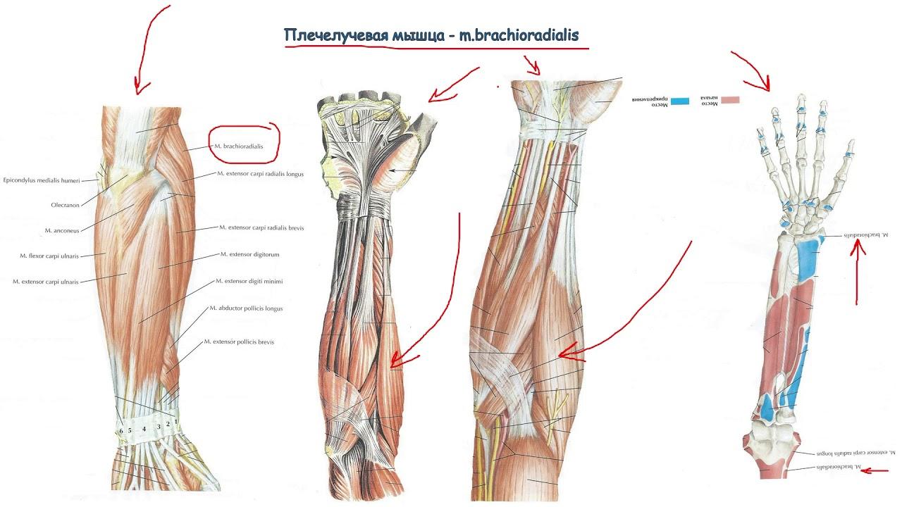 ✅ как прокачать лучевые мышцы. как накачать плечелучевую мышцу - sundaria.su