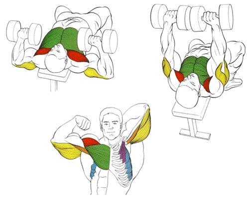 Жим арнольда: техника выполнения сидя с гантелями и стоя - какие мышцы работают