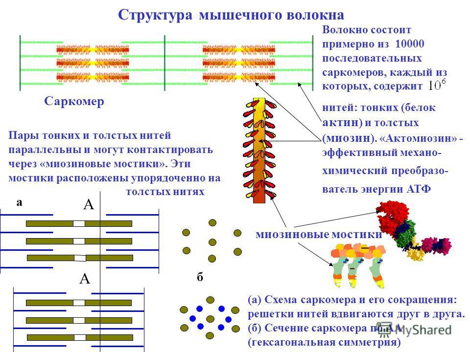 Мышечные волокна, быстрые и медленные типы ткани. белые и красные помощники