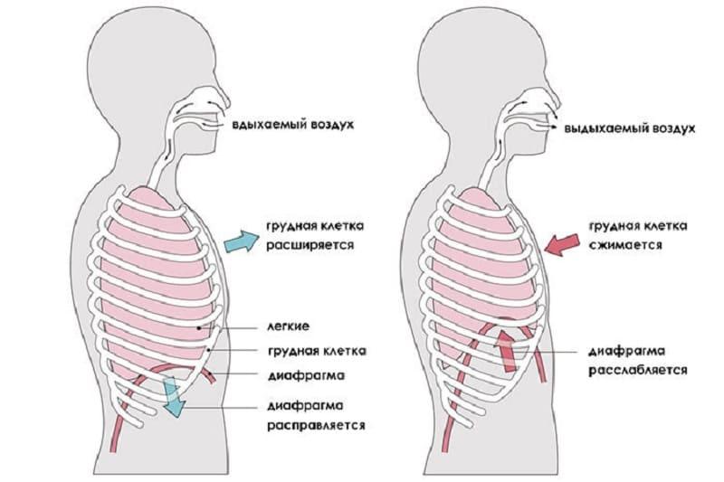 Дыхание животом: как научиться правильно дышать животом, техника глубокого диафрагмального дыхания