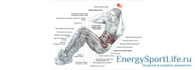 Мышцы пресса: анатомия, физиология, определение, строение, виды и выполняемые функции