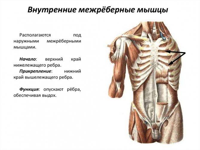 Строение, анатомия и функции грудного отдела позвоночника