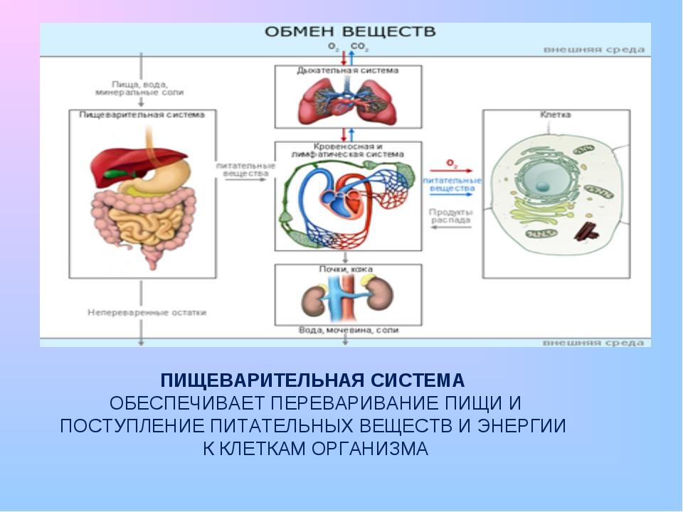 Процесс пищеварения в организме человека: по времени