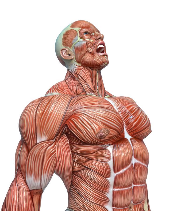 10 удивительных фактов о мышцах человека