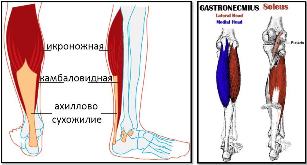 Мышцы верхних конечностей: анатомия и таблица с функциями