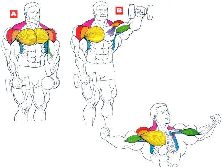 Объем и сила мышц: почему некоторые люди - сильнее, а некоторые – объемнее – зожник объем и сила мышц: почему некоторые люди - сильнее, а некоторые – объемнее – зожник