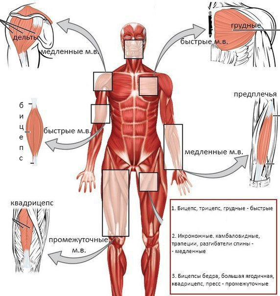 Быстрые и медленные мышечные волокна – в чём различия