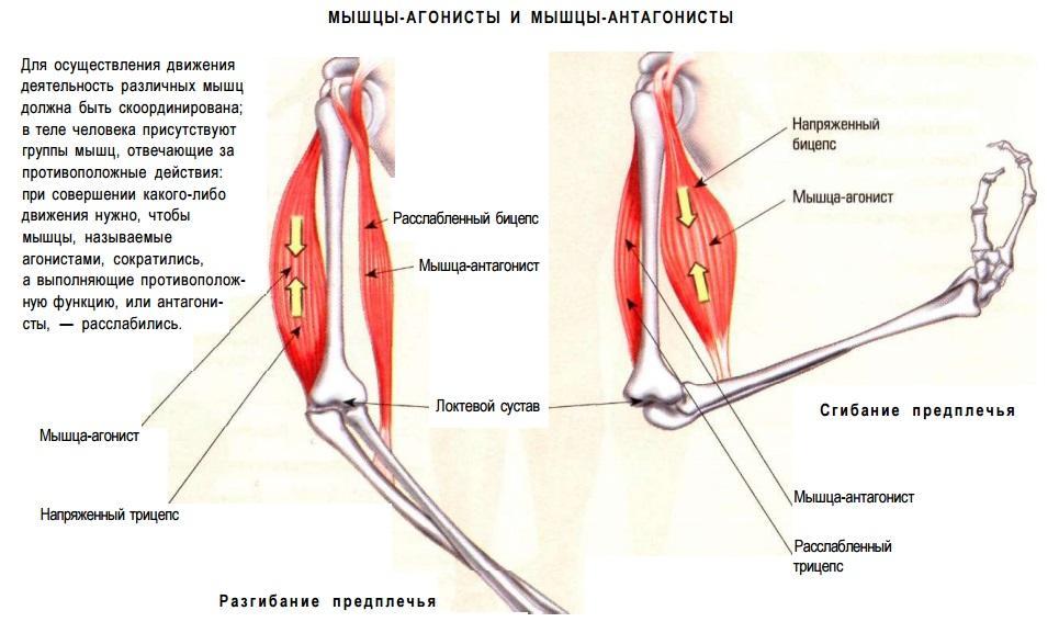 Какие мышцы антагонисты. тренировка мышц-антагонистов. примечания к тренировке антагонистов