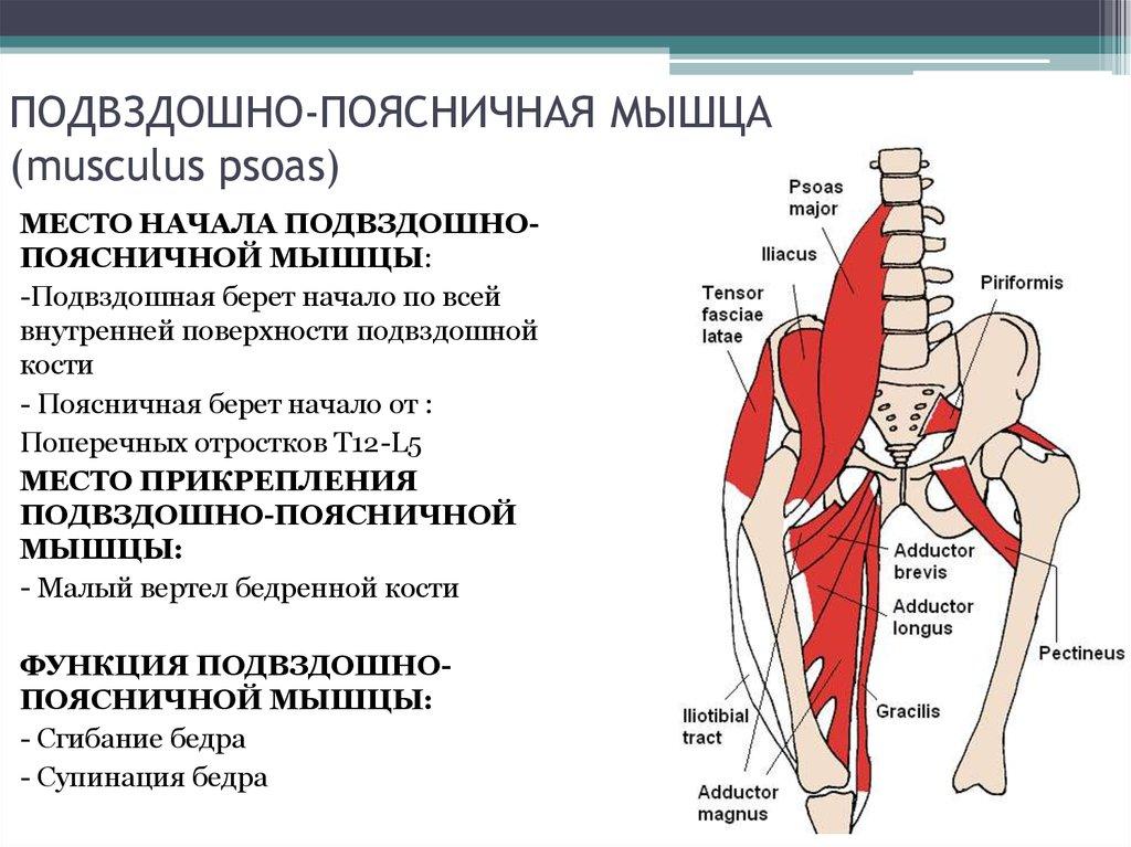 Все о подвздошно-поясничной мышце: упражнения на укрепление и растяжку