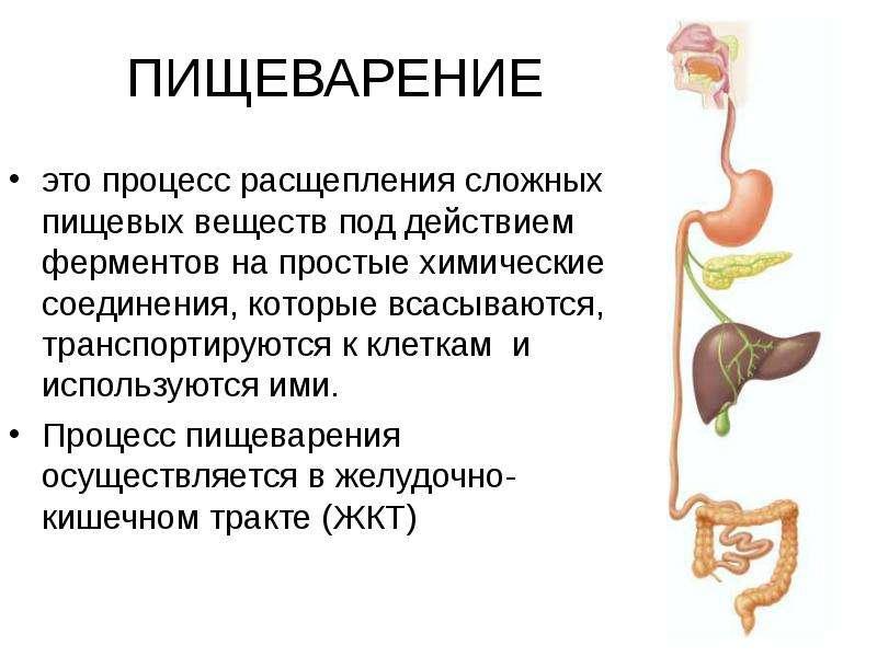 Процесс пищеварения в организме человека: из чего состоит желудок, тонкий и толстый кишечник | science debate