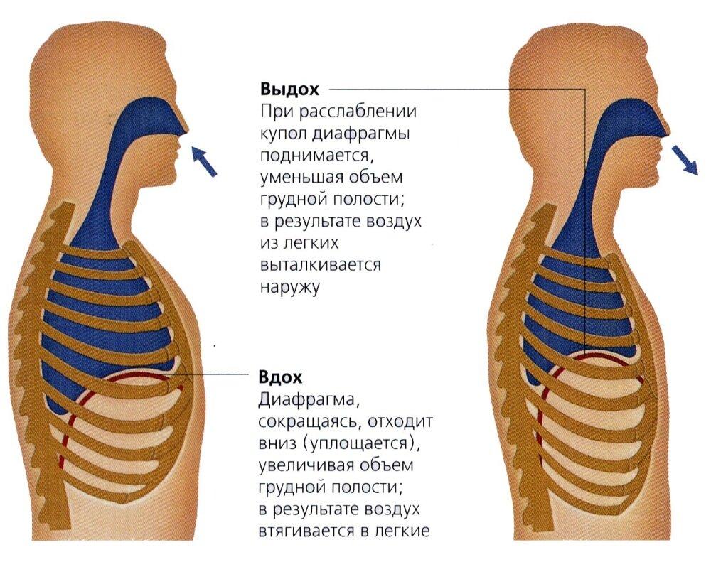 Как дышать животом: как правильно, техника, польза и вред, отличия диафрагмального дыхания от грудного