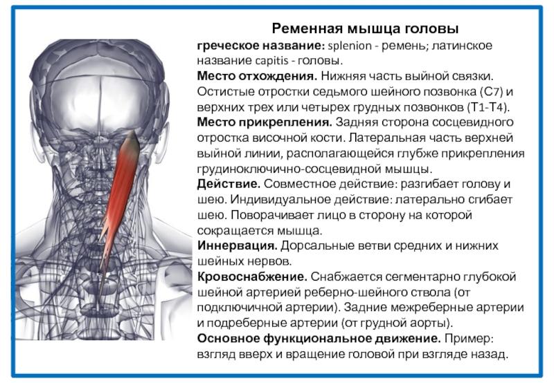 К чему прикрепляется ременная мышца шеи?