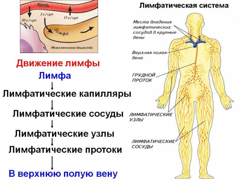 Упражнения для разгона лимфы. лимфатическая система