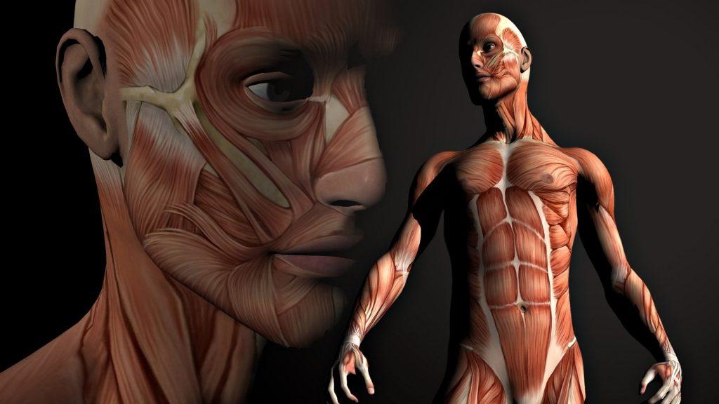 Сколько мышц насчитывает организм взрослого человека