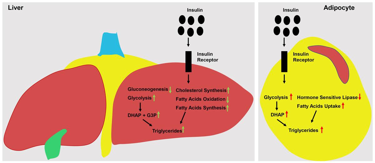 Как снизить инсулин чтобы похудеть: 13 супер эффективных способов