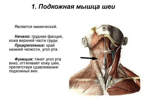 Платизма - мышца шеи, комплекс упражнений для укрепления, функции и анатомия