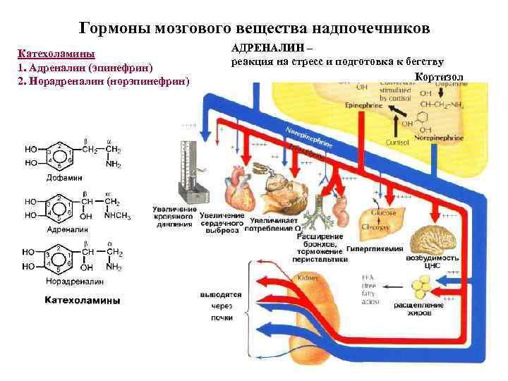 Анаболизм и катаболизм - этапы и взаимосвязь, как происходит энергетический обмен в организме