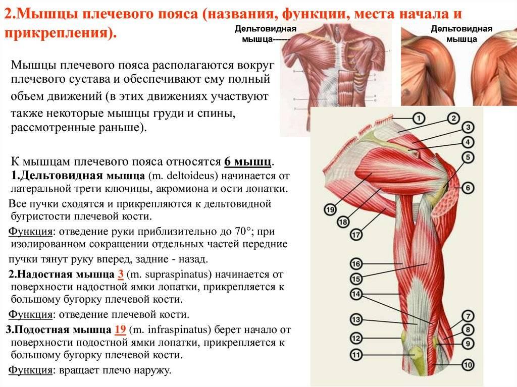 Анатомия мышц рук: строение, функции, упражнения для развития мышц рук - всё о тренировках