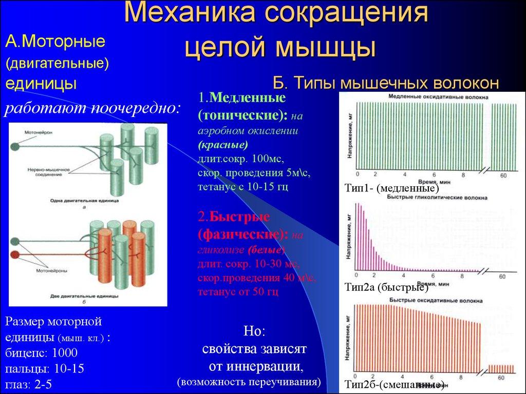 Типы мышечных волокон: отличия быстрых и медленных, их характеристика