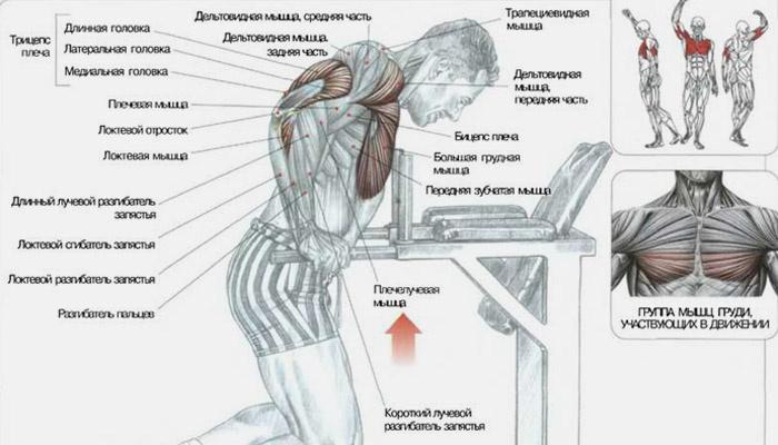 Техника выполнения отжиманий на брусьях, какие мышцы работают при этом