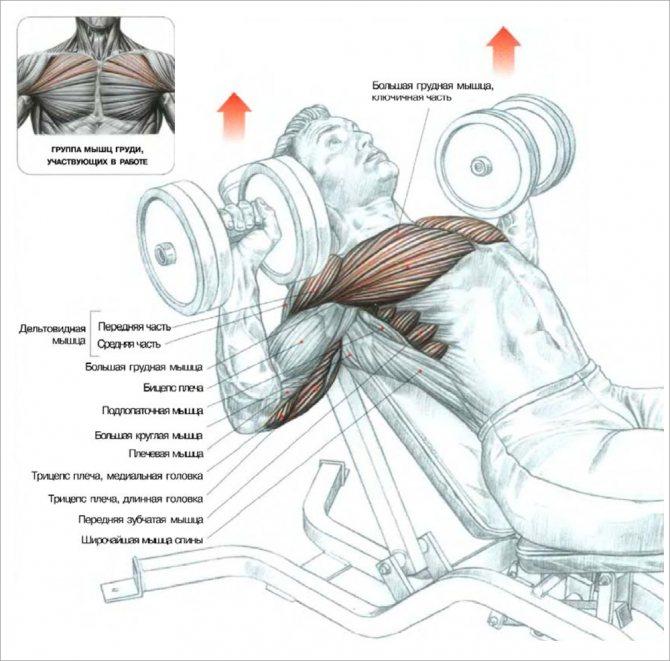 Как накачать грудные мышцы штангой и отжиманиями в домашних условиях?